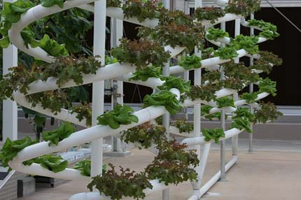 Photo: Plants growing in a hydroponic laboratory.