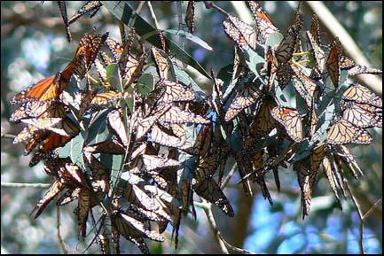 Photo:Monarch butterflies.