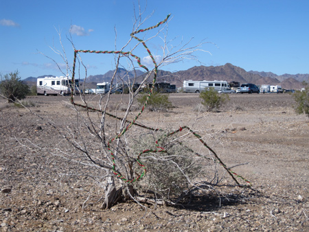 Leftover Christmas decorations adorn a desert shrub.