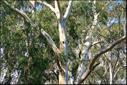 A Eucalyptus tree.